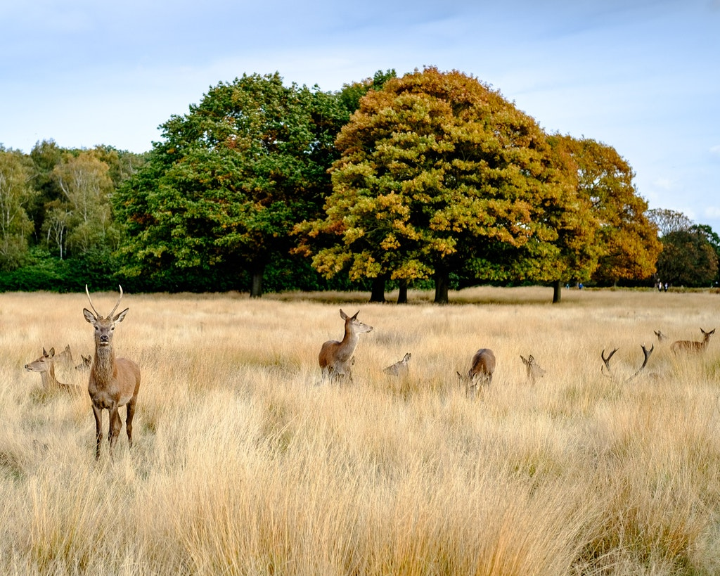 Richmond_Park_deer